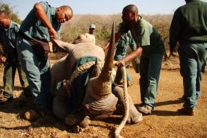 Ear Notching White Rhino