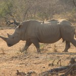 Rhino White