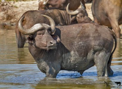 hluhluwe cape buffalo