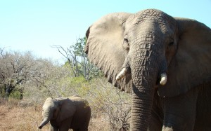 Hluhluwe Elephant Facts and Information 1