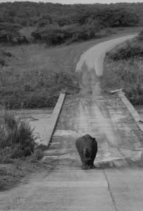 Hluhluwe Umfolozi Game Reserve white Rhino