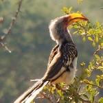 hluhluwe game reserve, hornbill