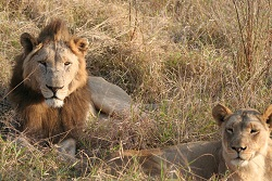 Hluhluwe Game Reserve Safari to see the Lions