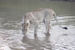 Hluhluwe Umfolozi Safari 1