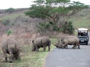hluhluwe white rhino