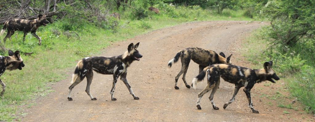 wild dog hluhluwe safaris