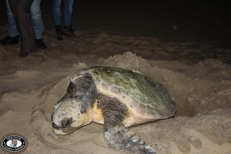 st lucia turtle tours