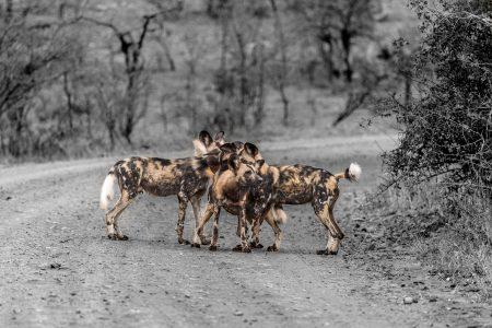 hluhluwe-imfolozi wild dogs
