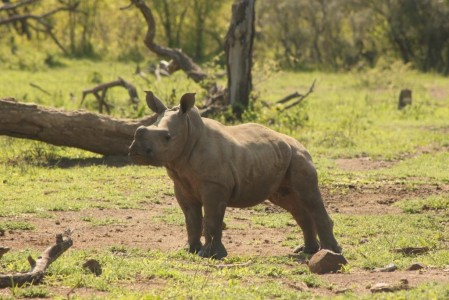 Pictures of White Rhino Capture