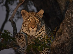 leopard on night drive safari