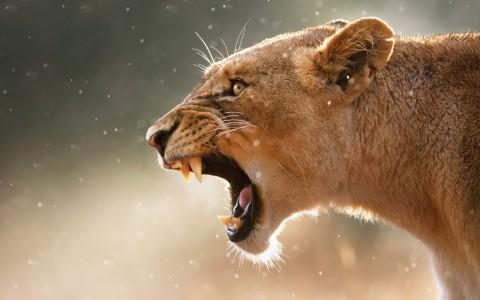lion imfolozi