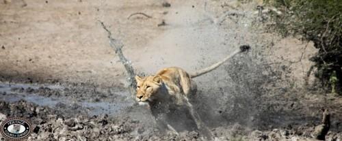 Hluhluwe Lion feeding