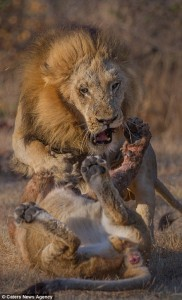 This is how a lion should be shot, with a camera of course .