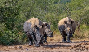 south african big5 rhino