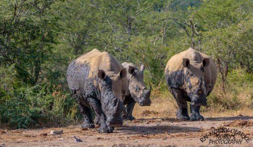 south african big5 rhino