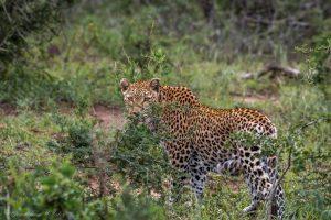 big 5 lepard