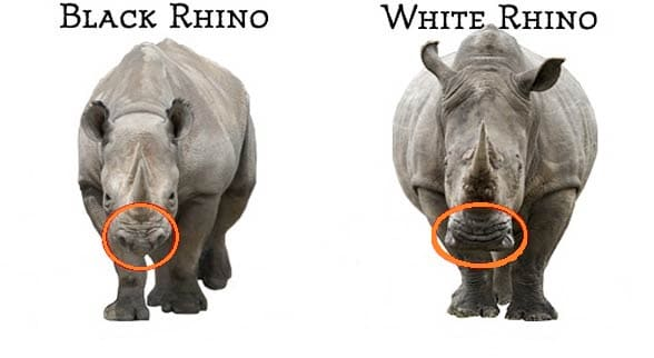 big 5 white rhino