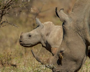 south africa black baby rhino