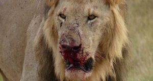Lion eat poachers south africa