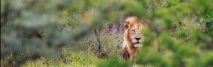 imfolozi lion male