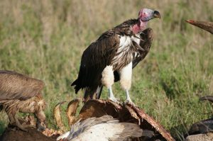 african vultures images