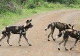 wild dog hluhluwe safaris